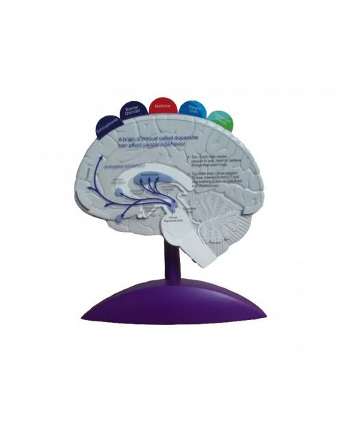 Anatomique modèle de cerveau