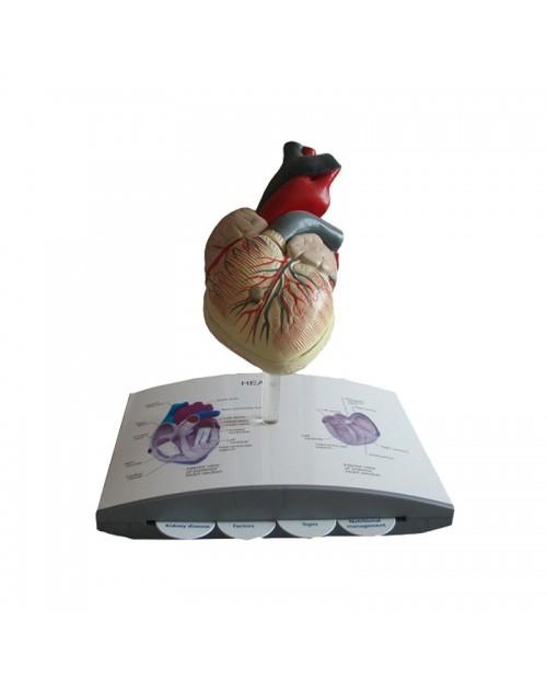 Anatomique  Modèle Coeur